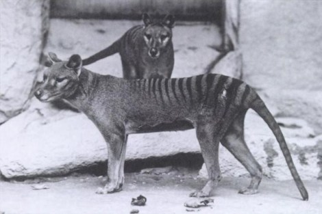 Thylacine (Tasmanian Tiger). Photo credit: smiteme / Foter.com / CC BY