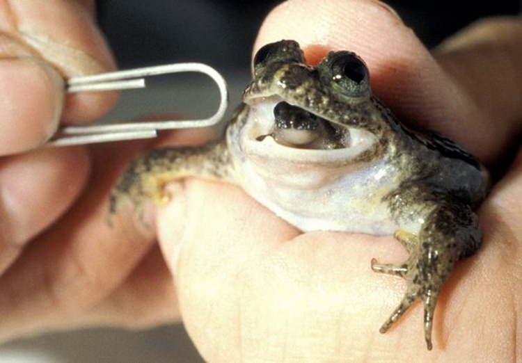 Gastric-brooding frog. Photo Credit: Mike Tyler / ANT Photo Library